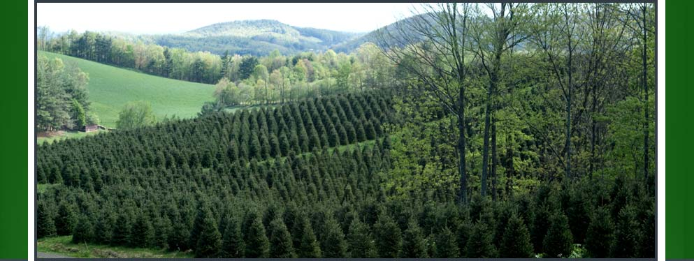 Our Fraser Fir Christmas trees are grown in Ashe County, North Carolina at Cardinal Tree Farm.