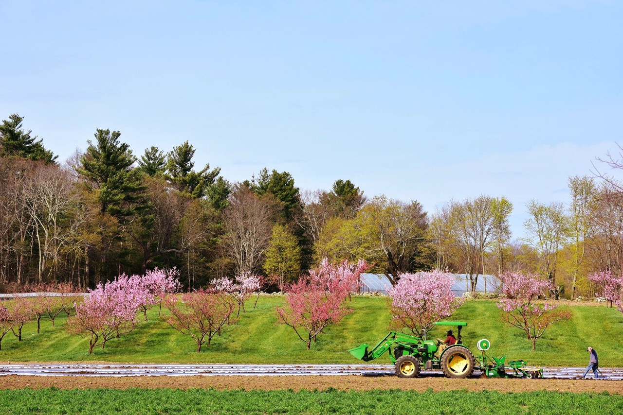 Organic peach trees in bloom at Langwater Farm.