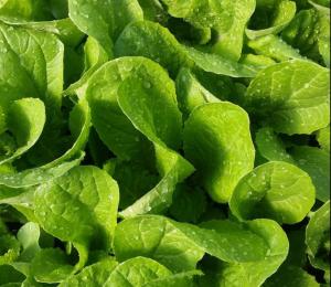 Green organic baby lettuce