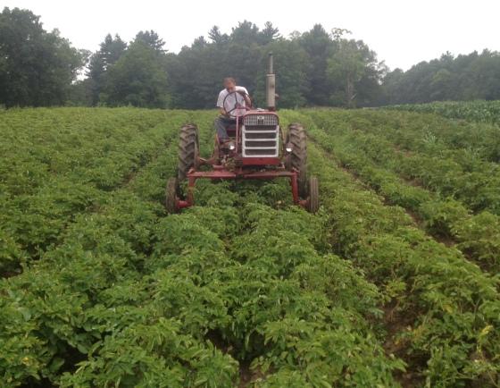 Farmer cultivating organic potatoes.