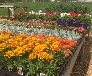 Marigolds, impatients, petunias, geraniums, begonias for sale outside the farmstand