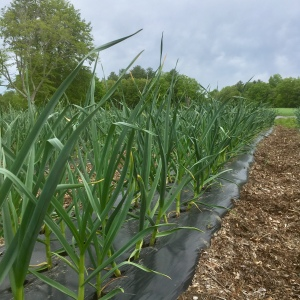 garlic crop