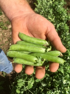a handful of sugar snap peas