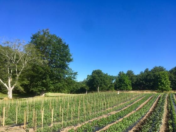 tomato rows landscape
