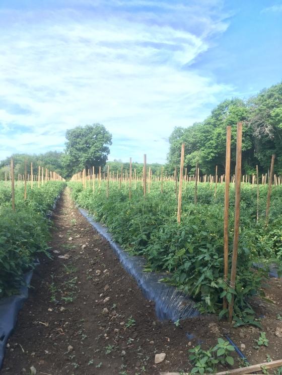 tomato rows solstice