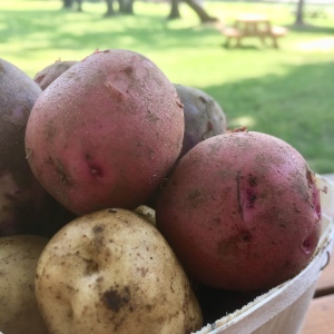 Certified Organic colorful new potatoes