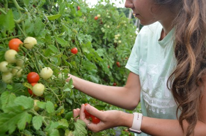 ashley picking cherry tomatoes