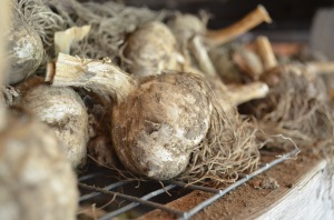 garlic curing in barn