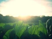 greens in sunlight