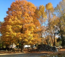 maple tree stone wall fall color