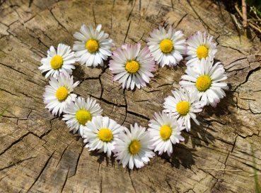 pexels daisy flower heart