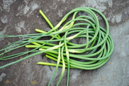 Bunches of freshly picked green garlic scape stems