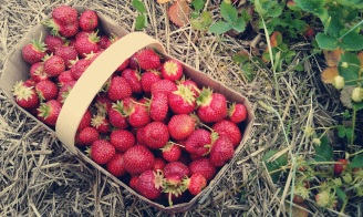 simca strawberries bushel crumb