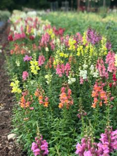 snapdragon flowers field