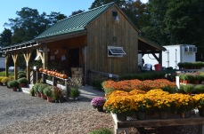 fall farmstand mums