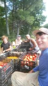 tomato harvesting crew