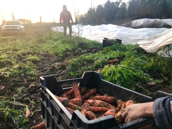 november carrot harvest PO field