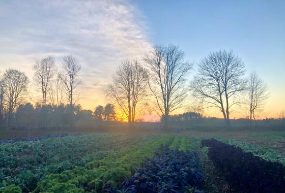 november sunset kale field
