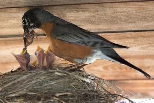 American Robin Feeding Her Young
