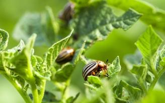 Colorado potato beetle in the field