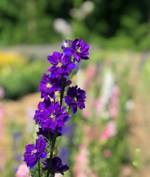 larkspur close up flower patch