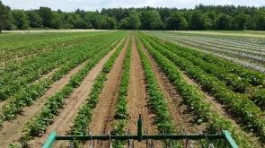 potato beds field
