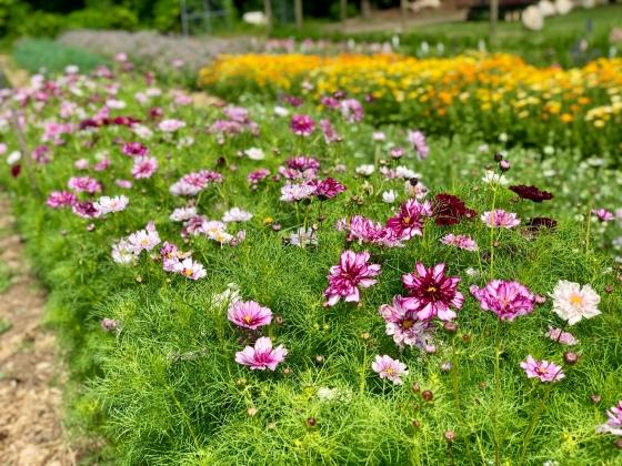 pyo flower field june 2020 cosmos