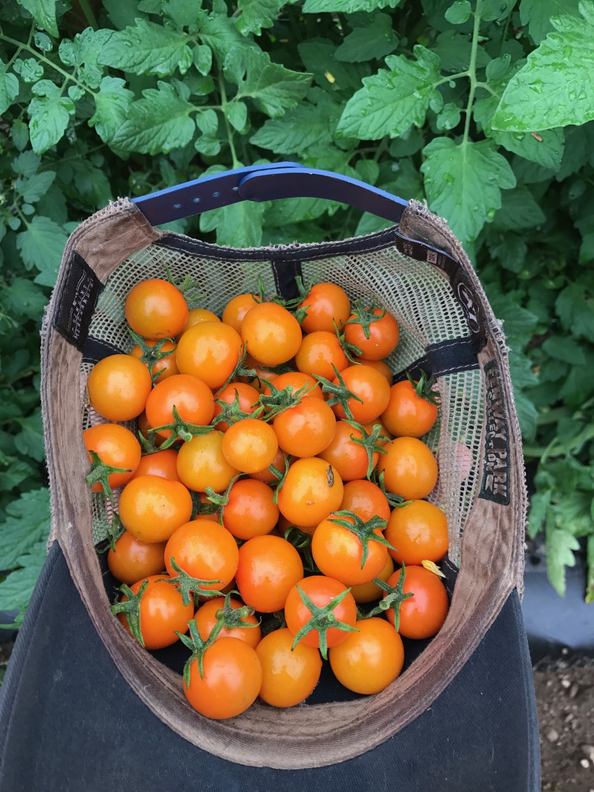 sungold cherry tomatoes in a hat