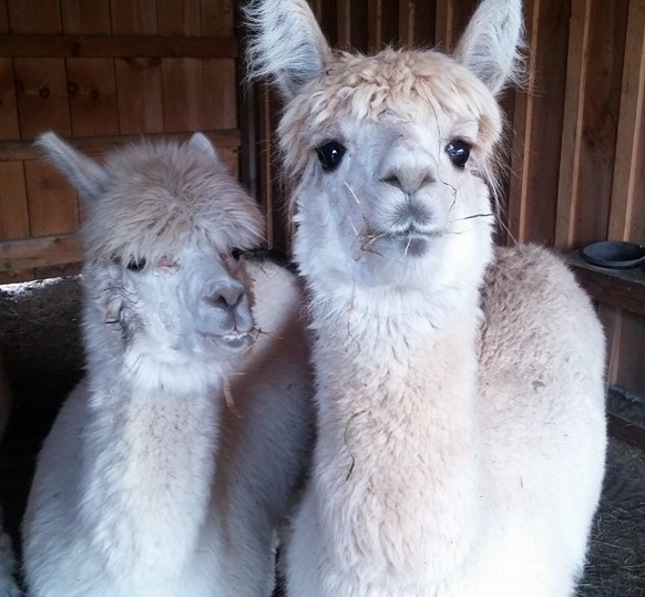 white alpacas kave rock